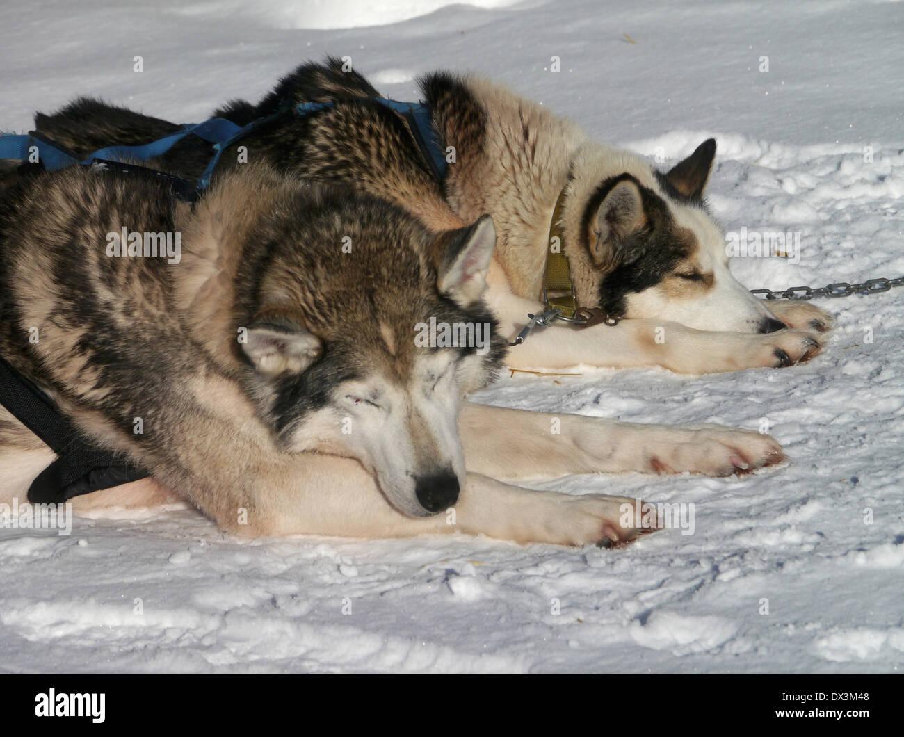 sledge dogs in jukkasjärvi, norrbottens län, lappland, sweden - Stock Image
