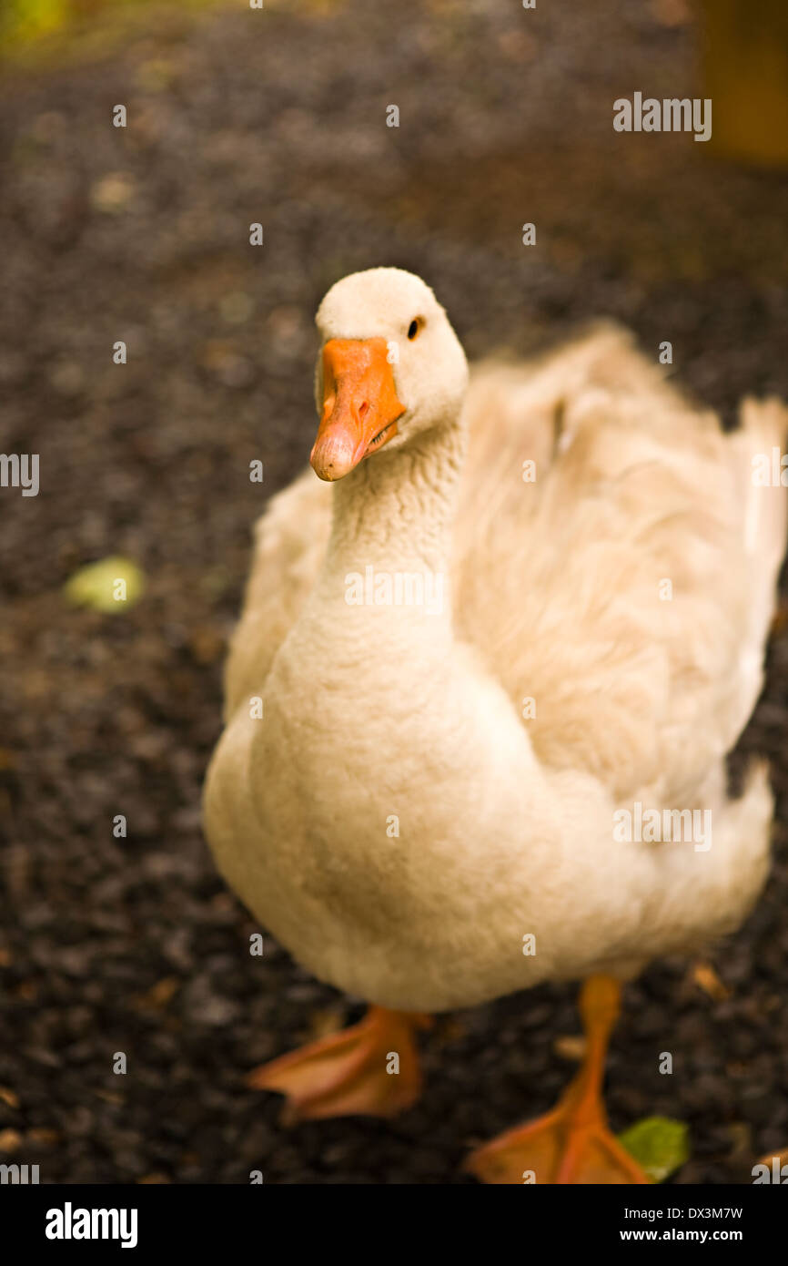 White duck shaking feathers, portrait, close up, high angle view - Stock Image