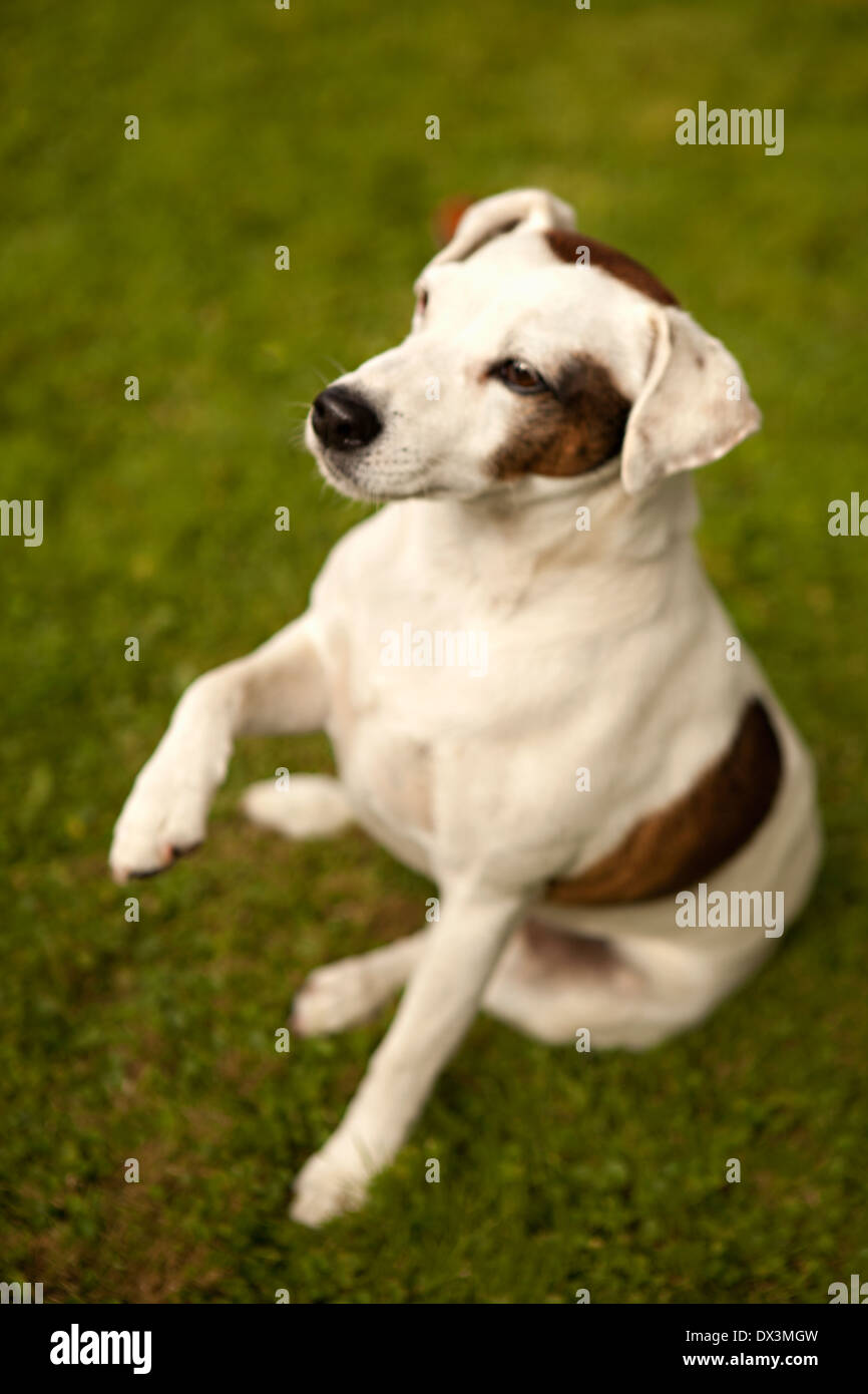 Brown and white dog on grass ready to shake hands, high angle view - Stock Image