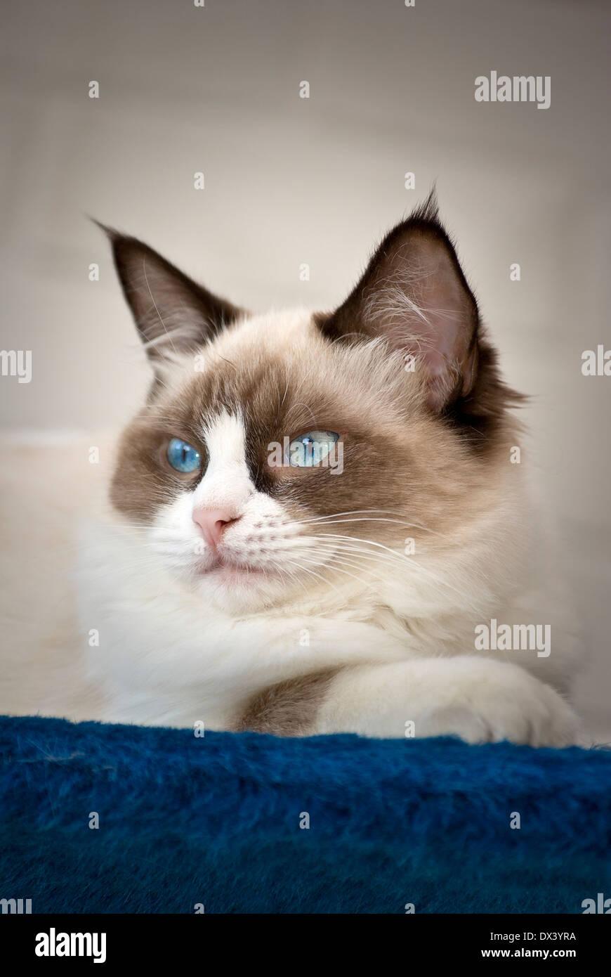 Young Ragdoll cat alert indoors - Stock Image