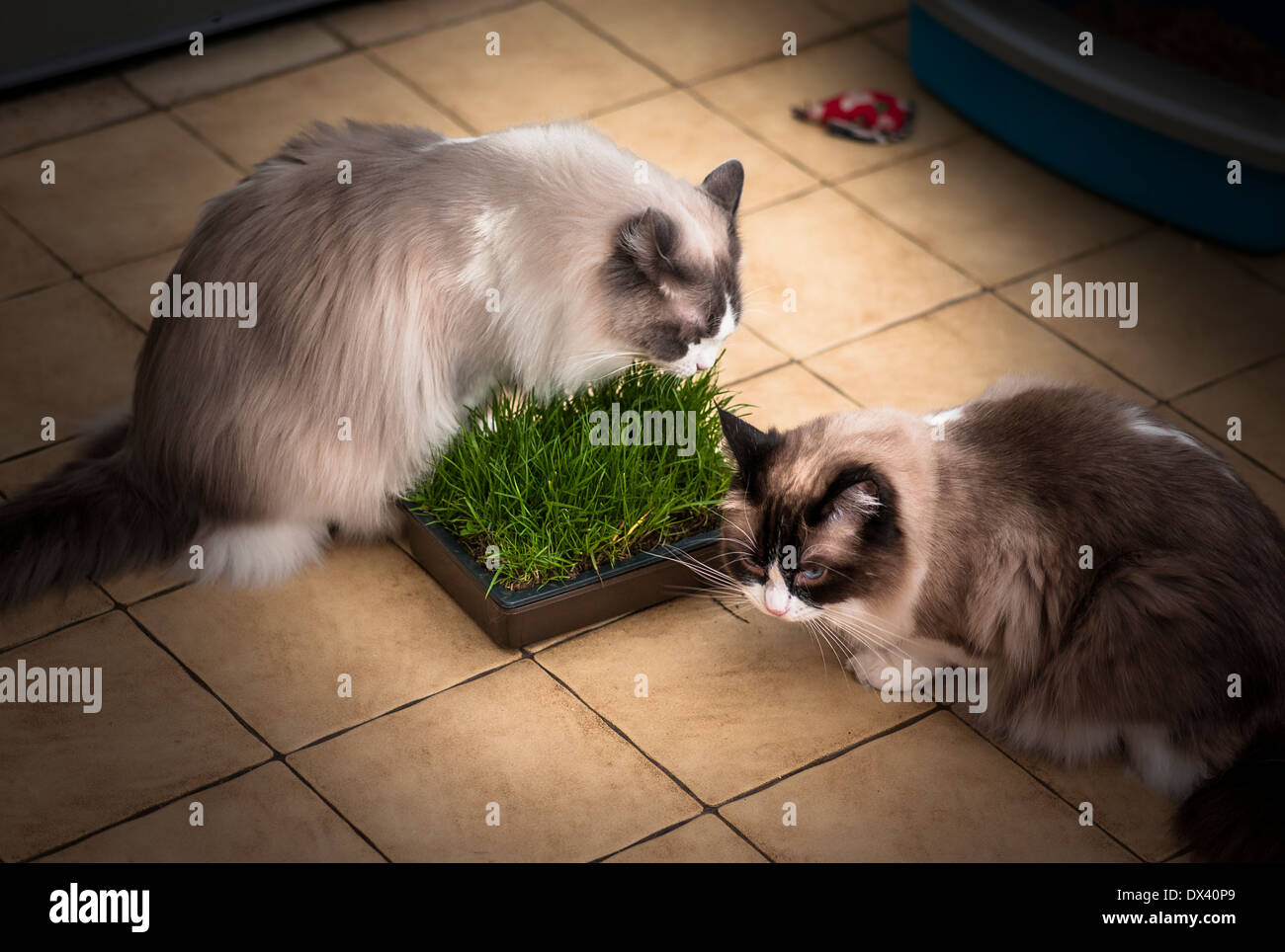 Two Ragdoll cats investigaing a new planter with growing fresh grass for them to nibble - Stock Image
