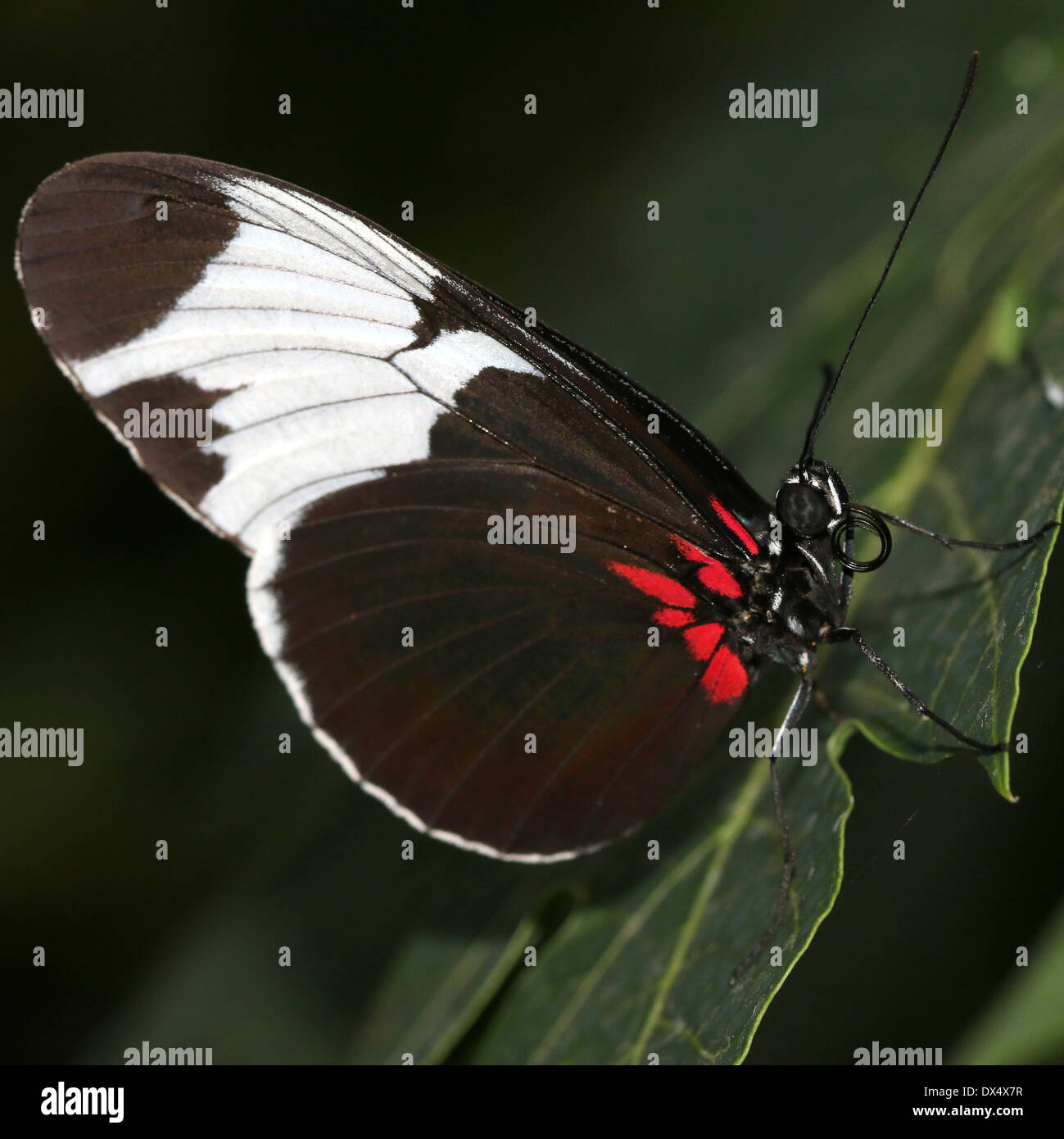 Sapho Longwing (Heliconius sapho) with wings closed - Stock Image