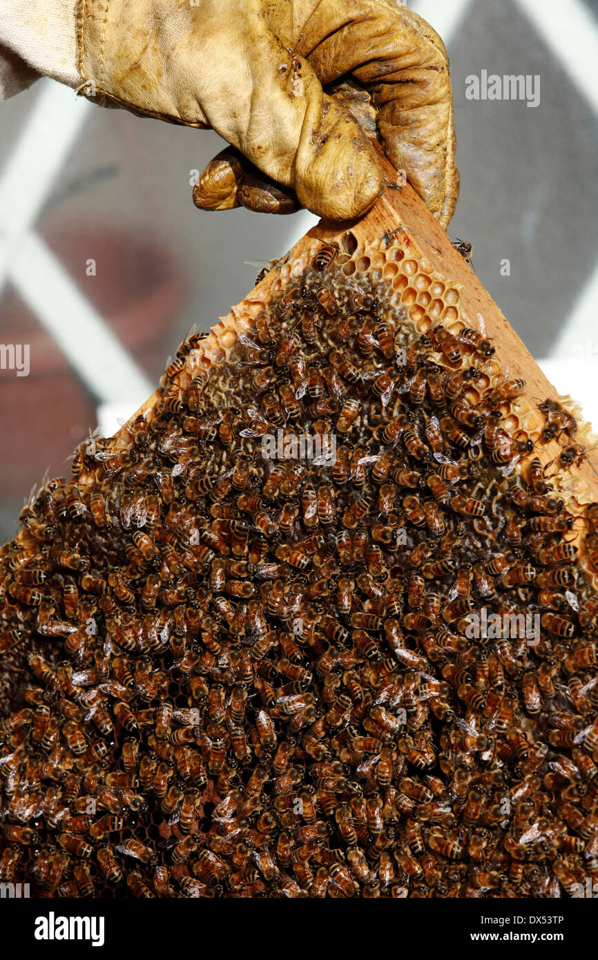 Beekeeper holds the beehive with a yellow glove - Stock Image
