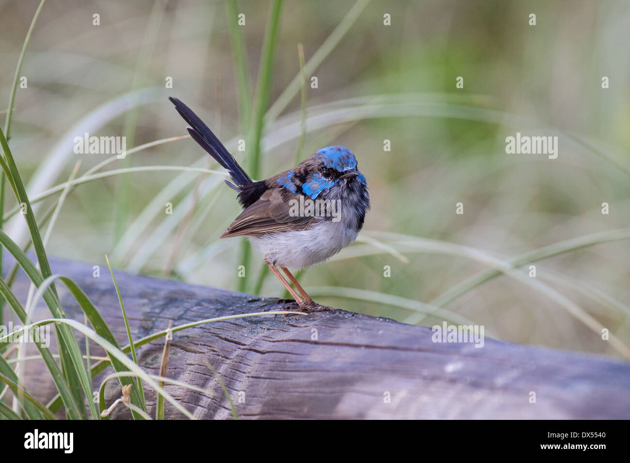 Male Superb Fairy Wren  at Burleigh Heads , Queensland - Stock Image