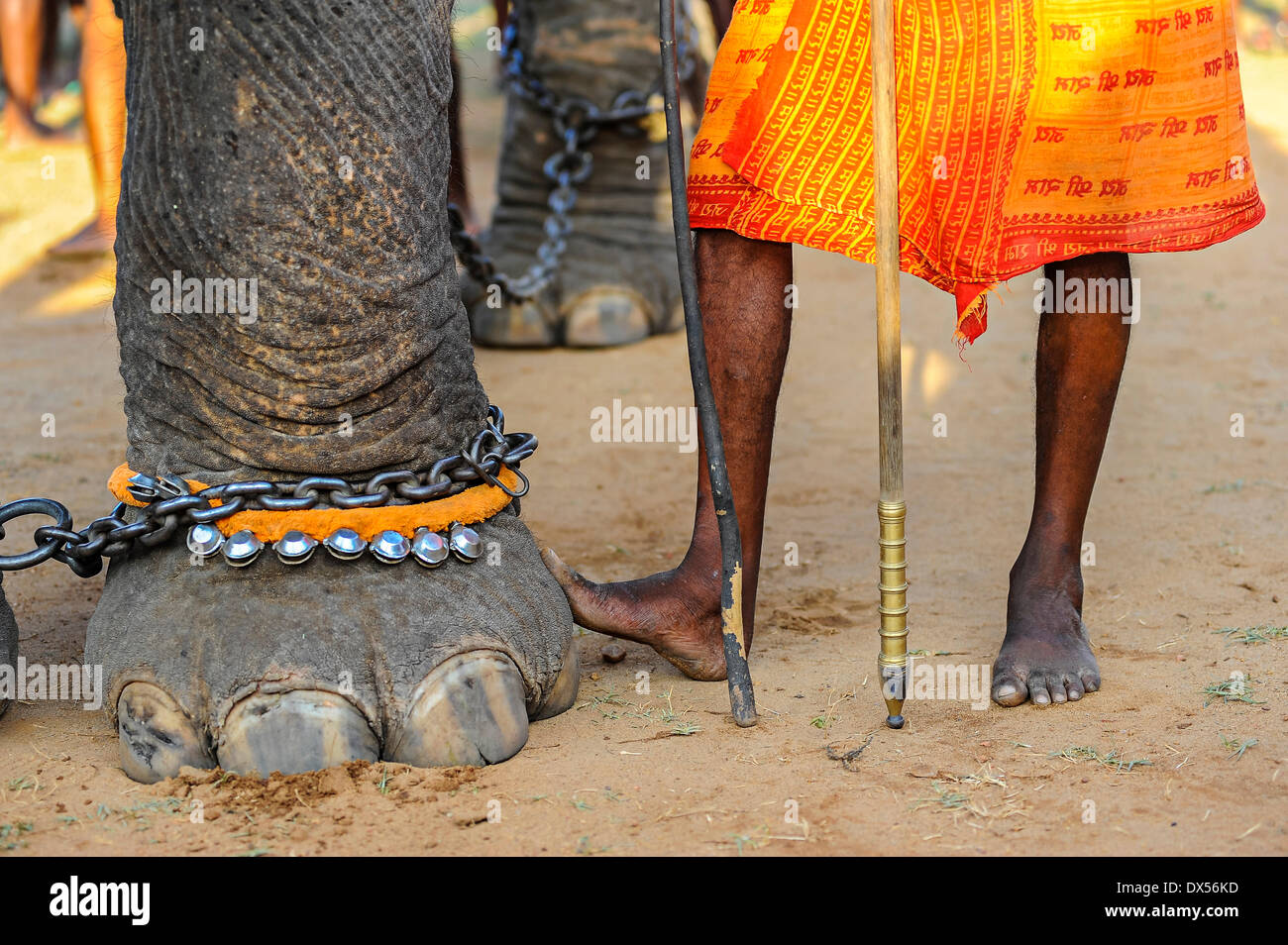 Elephant foot and human feet at Hindu temple festival, Thrissur, Kerala, South India, India - Stock Image
