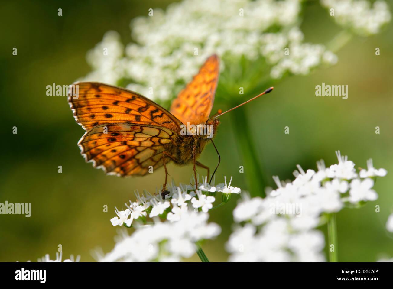 Lesser Marbled Fritillary (Brenthis ino) Kirchseemoor, Upper Bavaria, Bavaria, Germany - Stock Image