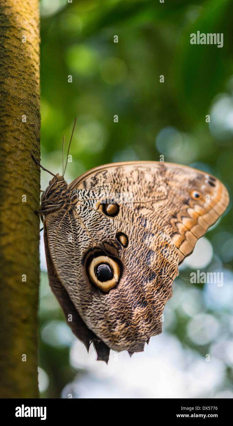 Forest Giant Owl (Caligo eurilochus), butterfly house, botanical garden, Munich, Upper Bavaria, Bavaria, Germany - Stock Image