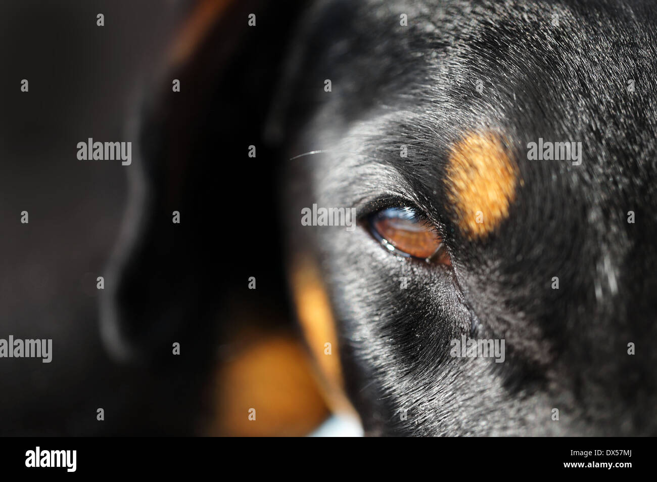 close-up view into an eye of a doberman dog - Stock Image