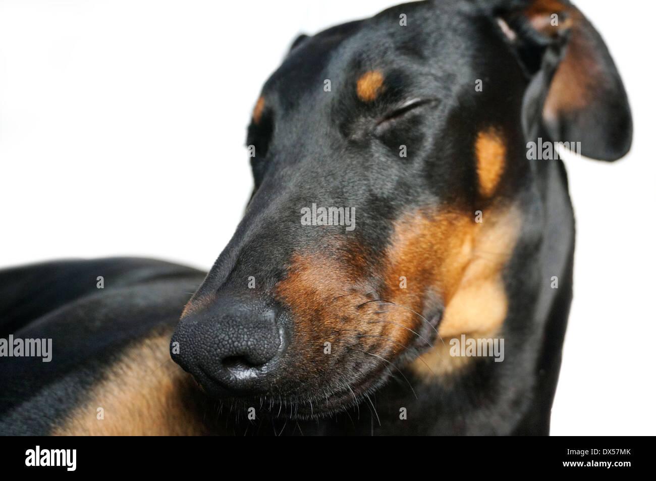 portrait of a female doberman junior dog sleeping - Stock Image
