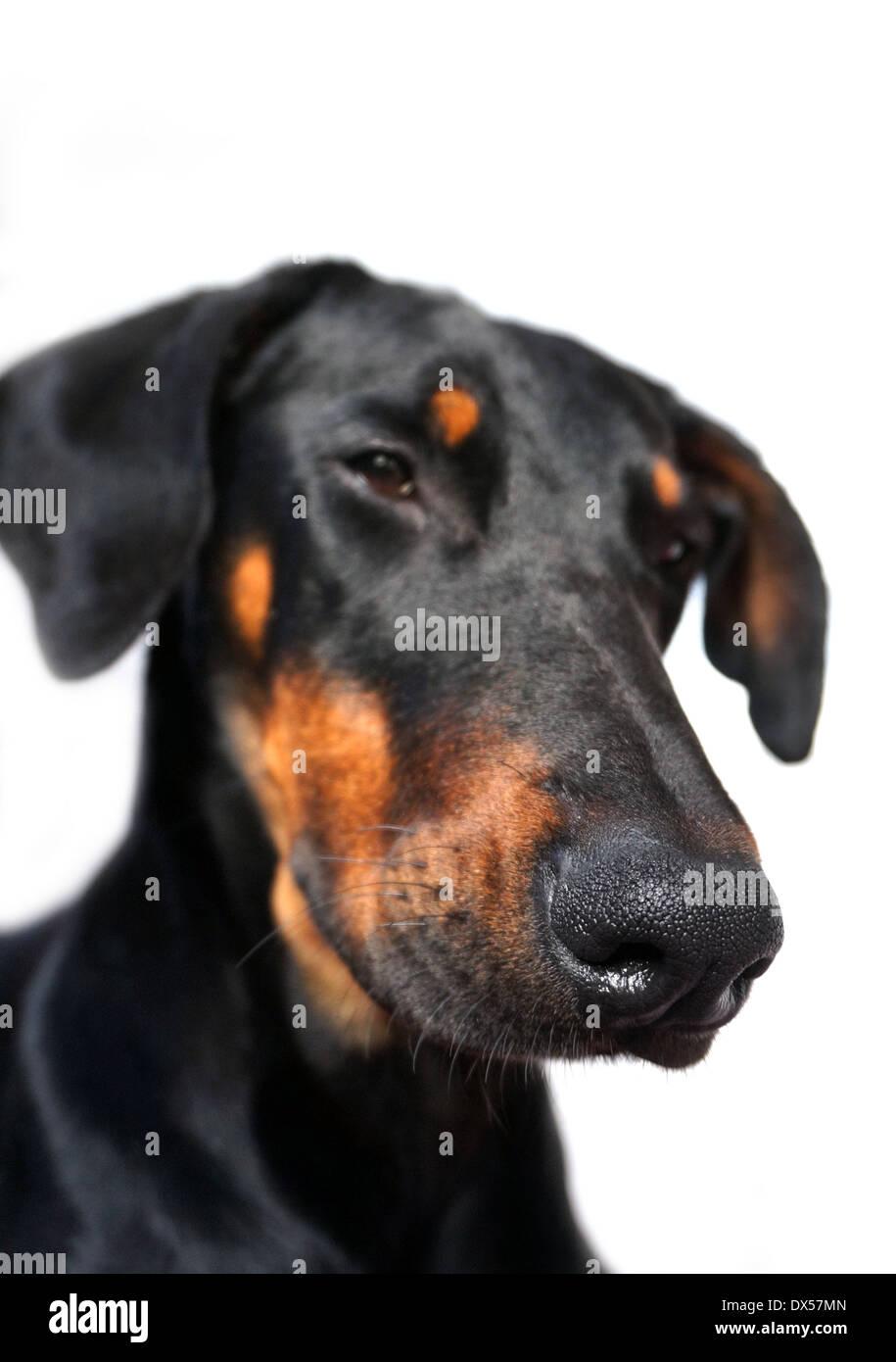 portrait of a female doberman junior dog - Stock Image