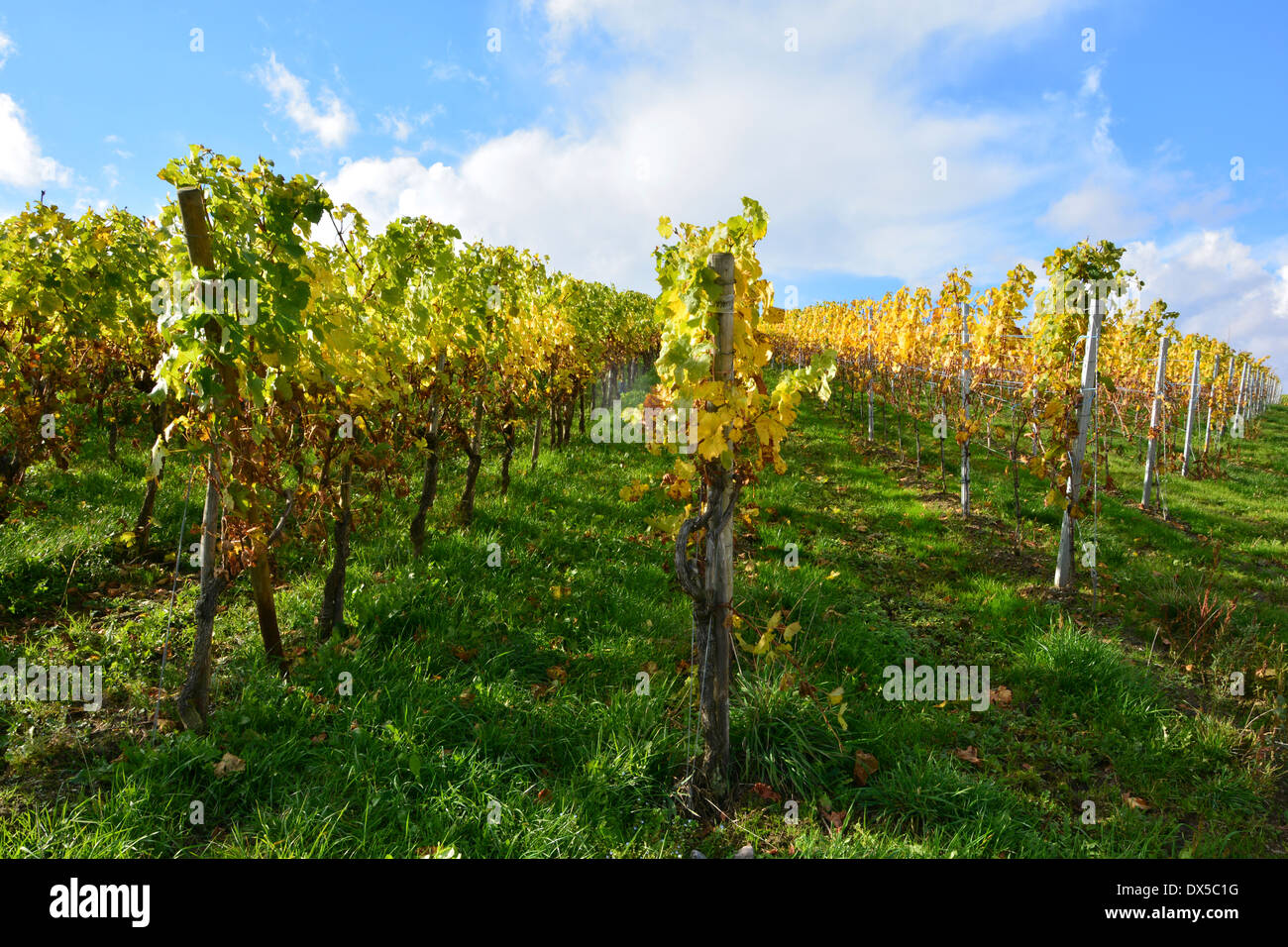 Moselle vineyard in autumn harvest landscape blue sky Germany  Weinberg Rebenlandschaft Weinbergslandschaft im Herbst Mosel Stock Photo