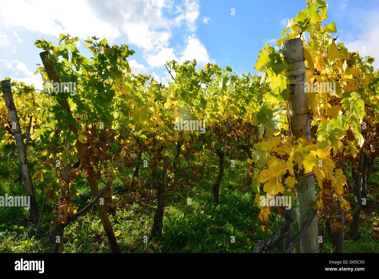 autumn leaves in vineyard harvest landscape blue sky Moselle Germany Herbstlaub im Weinberg bei blauem Himmel und Sonnenschein Stock Photo