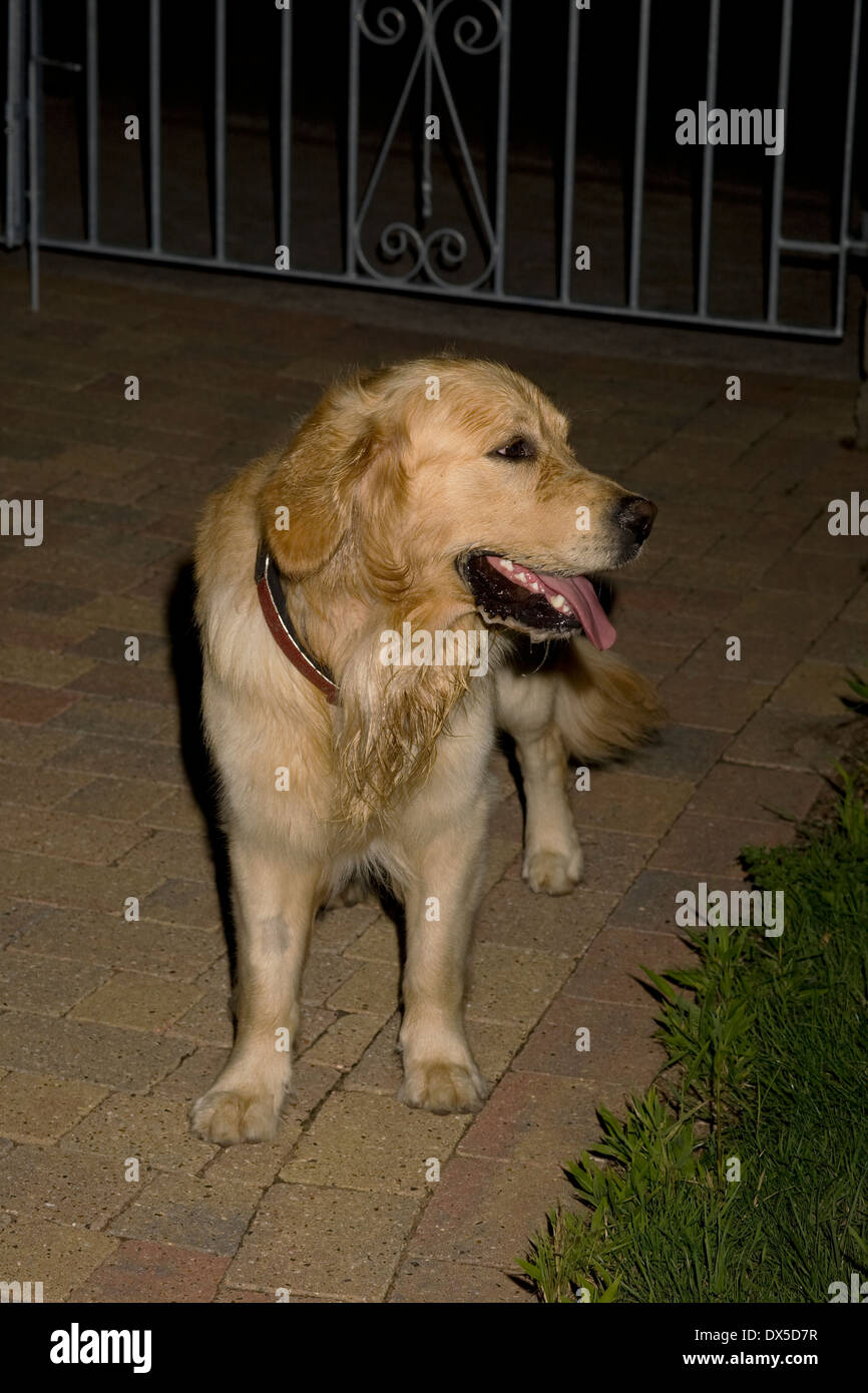 Boo, Yorkbeach Golden Dayglo, 2 year old entire male golden retriever stands on block paved driveway on summer's evening - Stock Image
