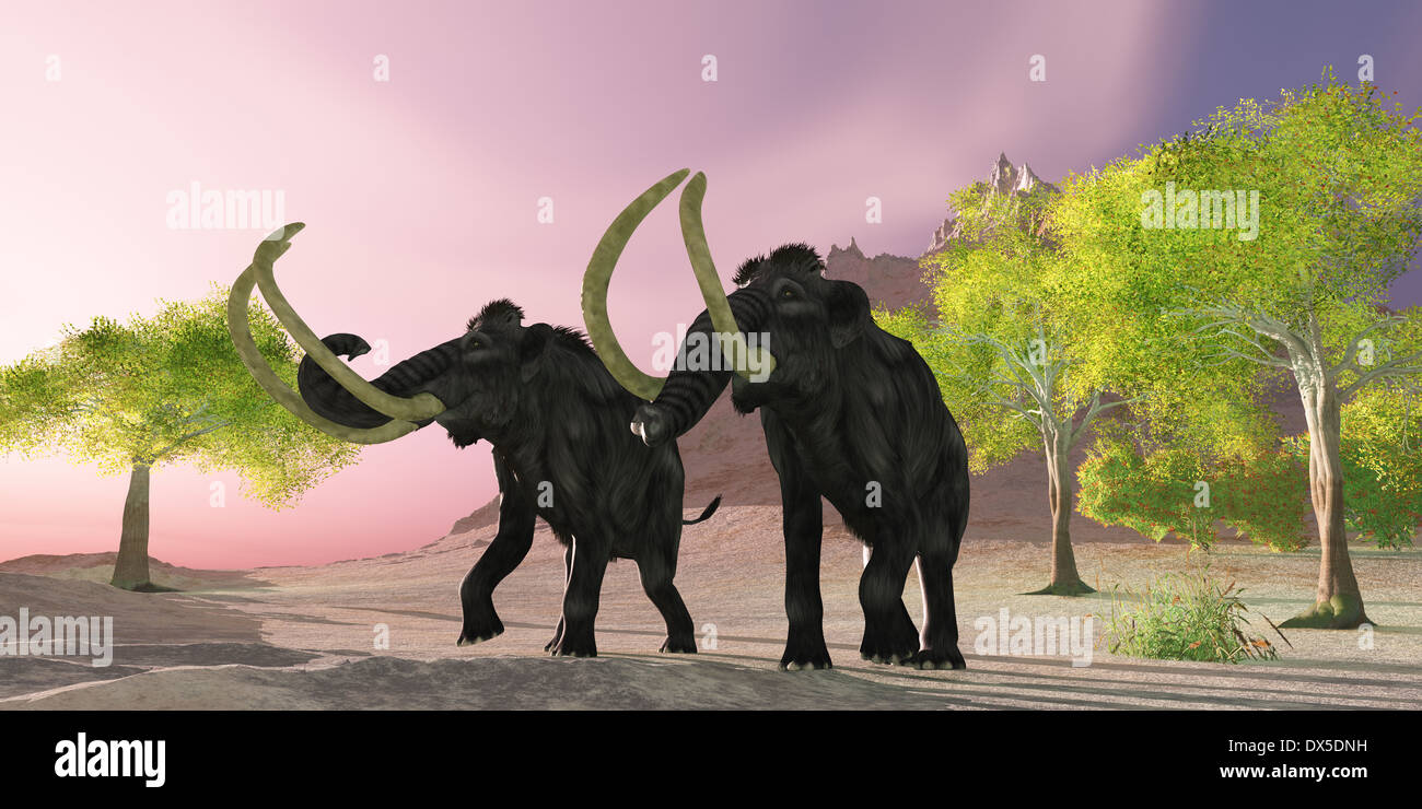 A rosy morning finds two Woolly Mammoths searching for better vegetation to eat. - Stock Image