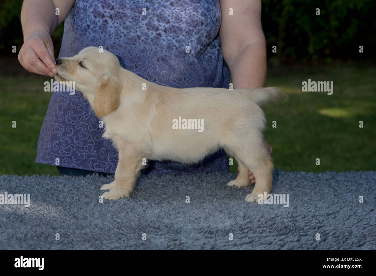 Meg, Yorkbeach Starlight Patrol, 8 week old female golden retriever puppy stands formally on vet bed in garden on summer morning - Stock Image