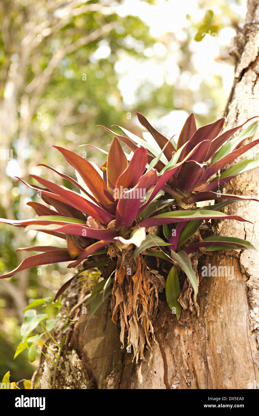 Tropical succulent plant growing from tree bark - Stock Image