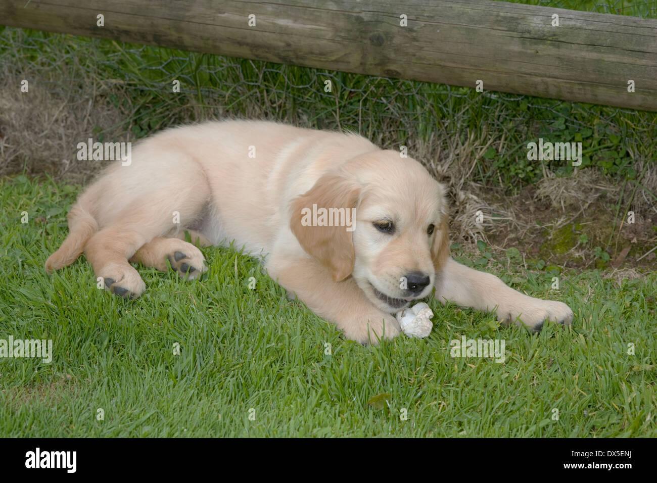 Golden Retriever Female Puppy Week Stock Photos Golden Retriever