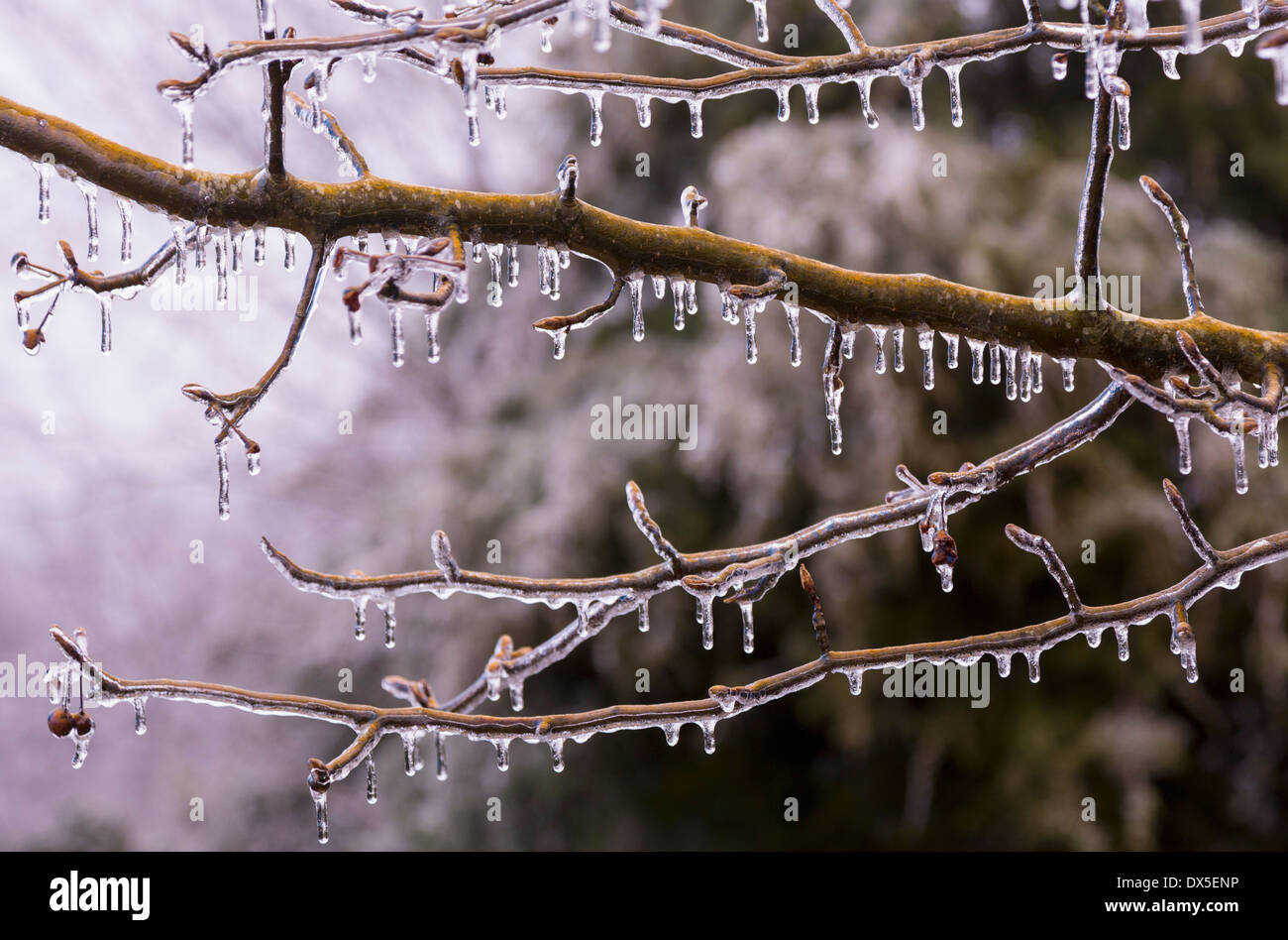 Icicles on a tree branch in winter  as it starts to thaw - Stock Image