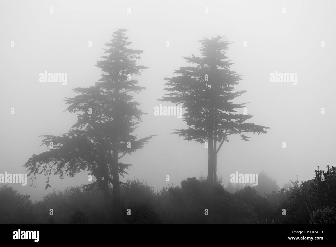 Two pine trees in the mist / low cloud - Stock Image