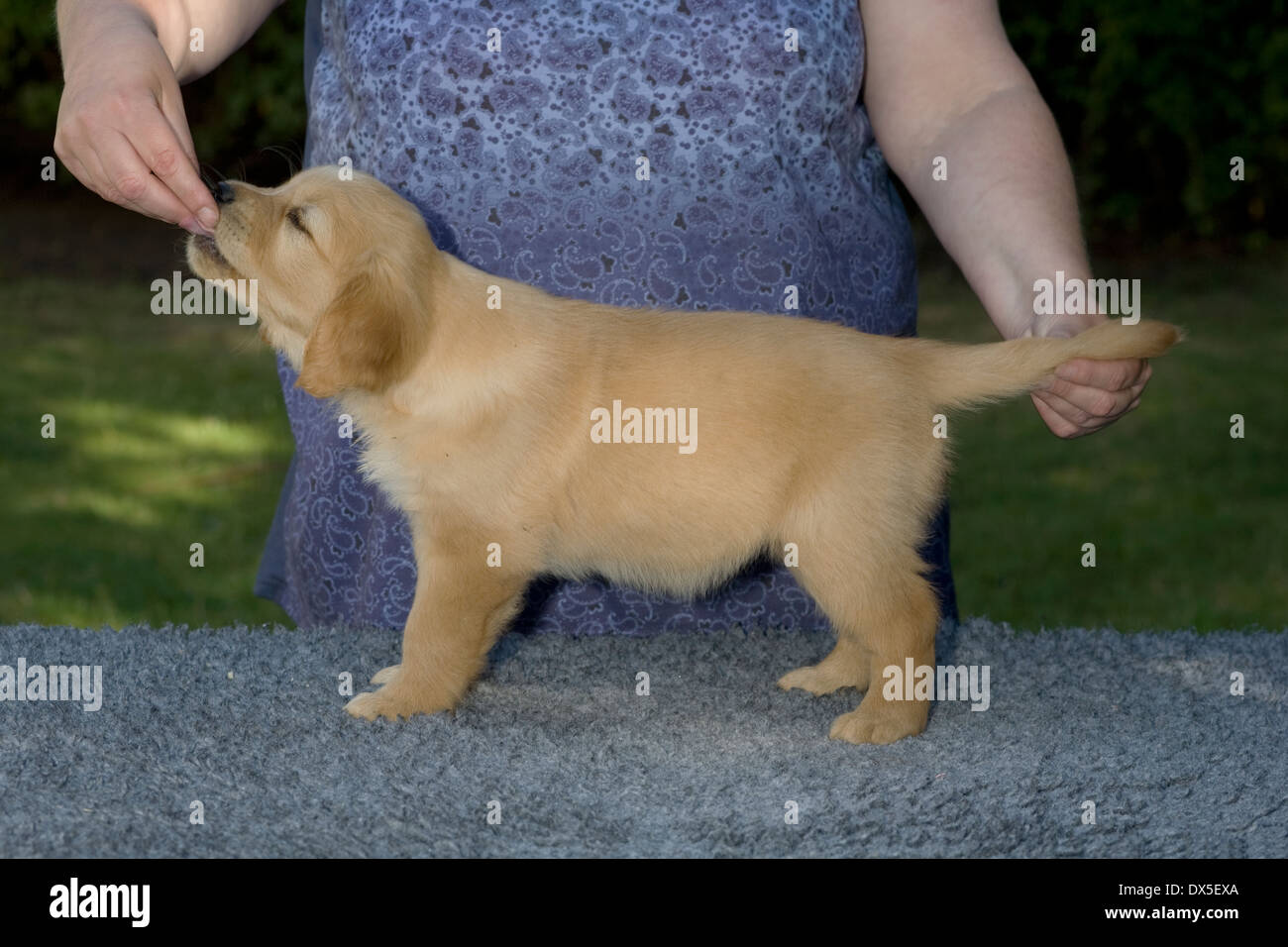 Tressa, Yorkbeach Third Patrol, 8 week old female golden retriever puppy stands formally on vet bed in garden on summer morning - Stock Image