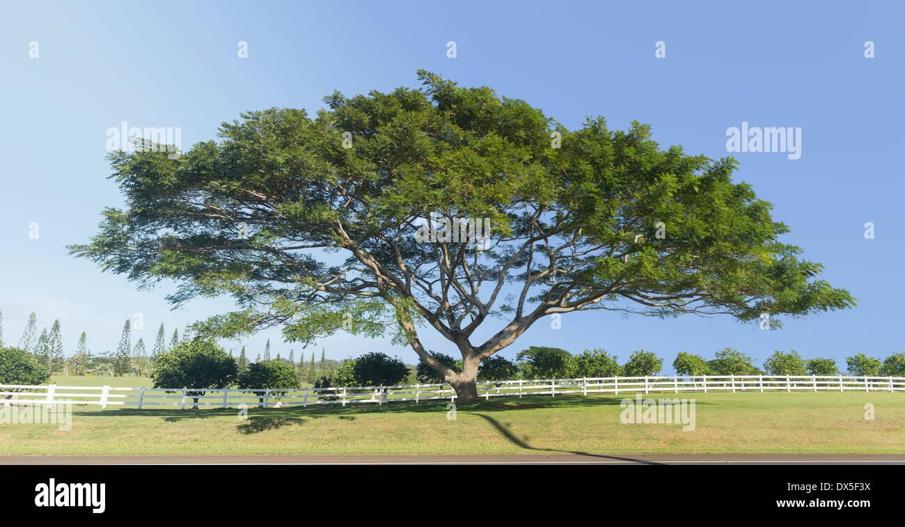 Acacia tree or Koa tree, Hawaii, USA - Stock Image
