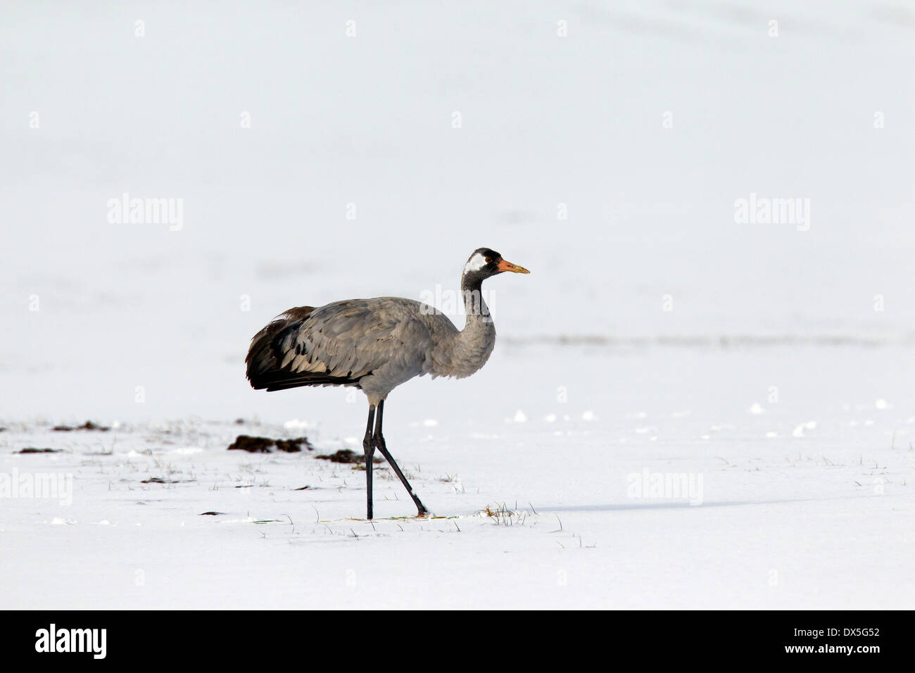 Common crane / Eurasian crane (Grus grus) in the snow in early spring Stock Photo
