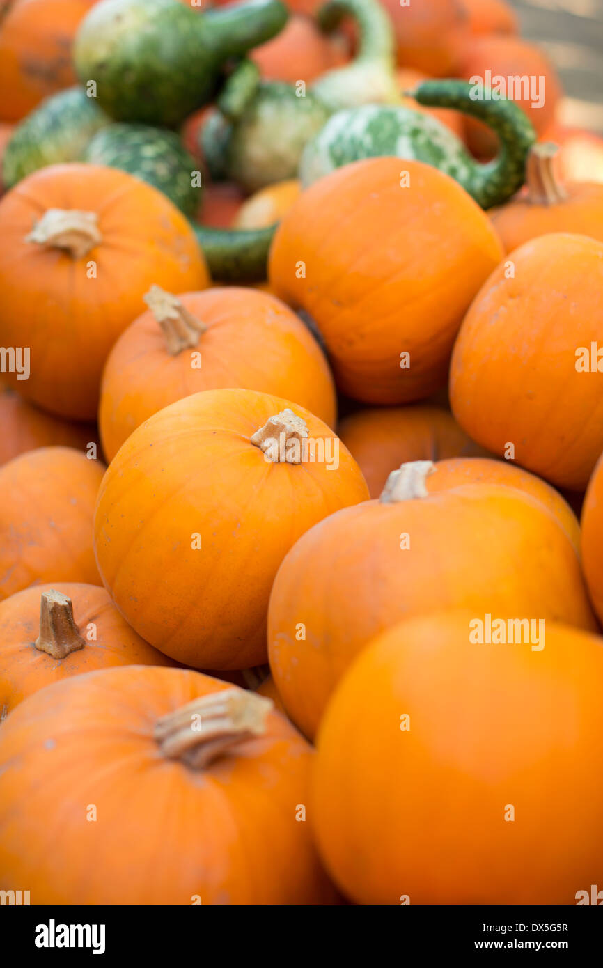 Vibrant orange pumpkins, abundance, close up - Stock Image