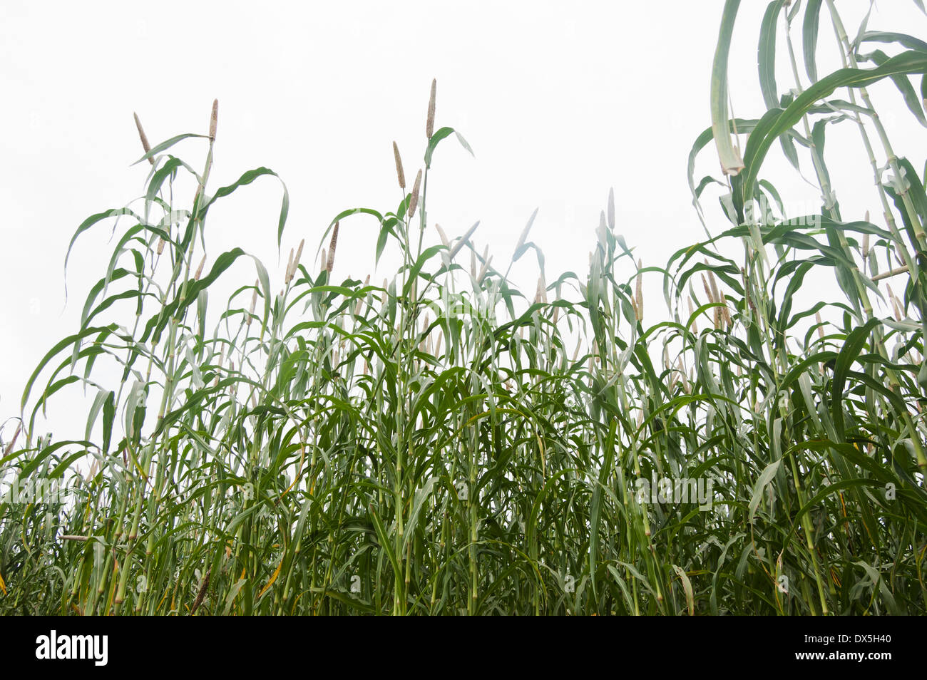 Indian Agricultural Area - Stock Image