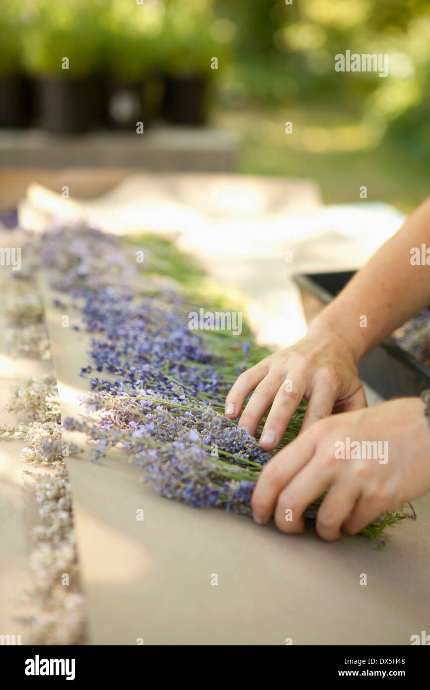 Woman arranging bunches of harvested dried lavender on lavender farm, tilt - Stock Image