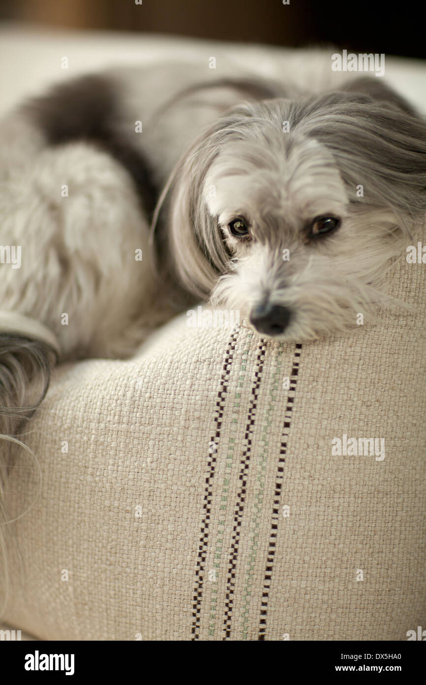 Sad dog laying on sofa cushion, portrait, close up - Stock Image