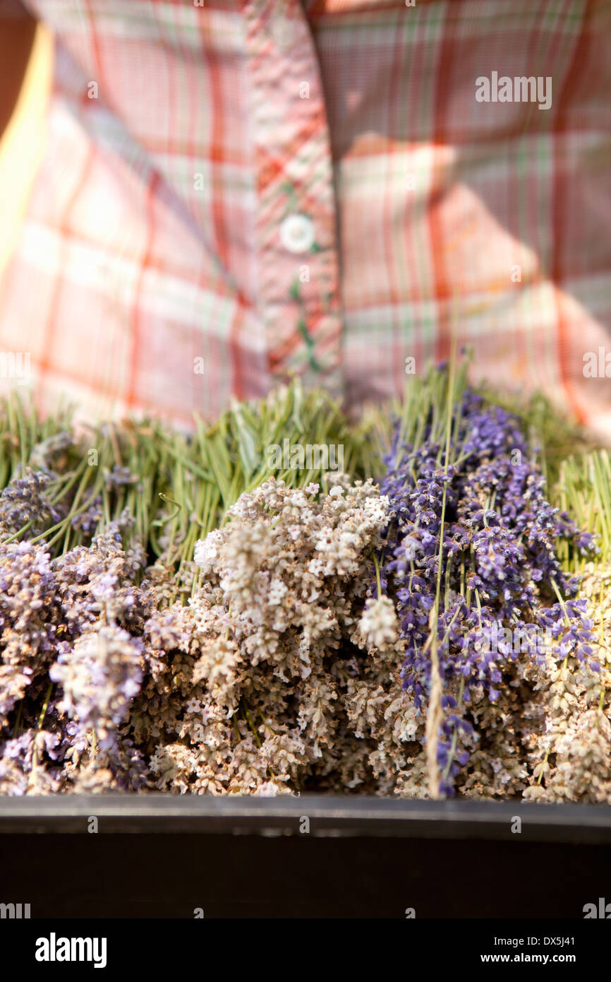 Woman holding harvested dried lavender in tray, close up - Stock Image