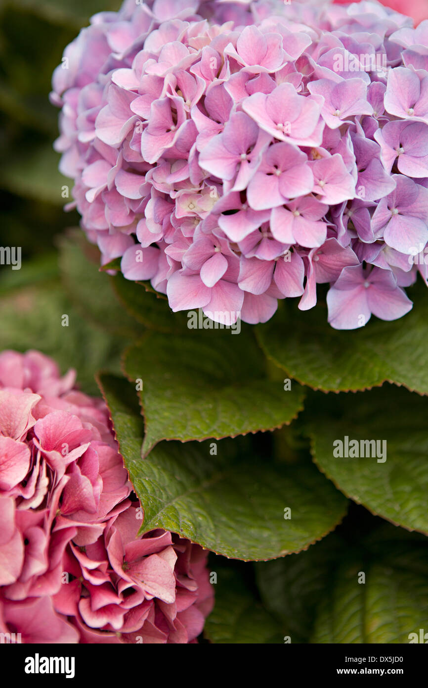 Purple and pink hydrangeas, high angle view, close up, high angle view - Stock Image