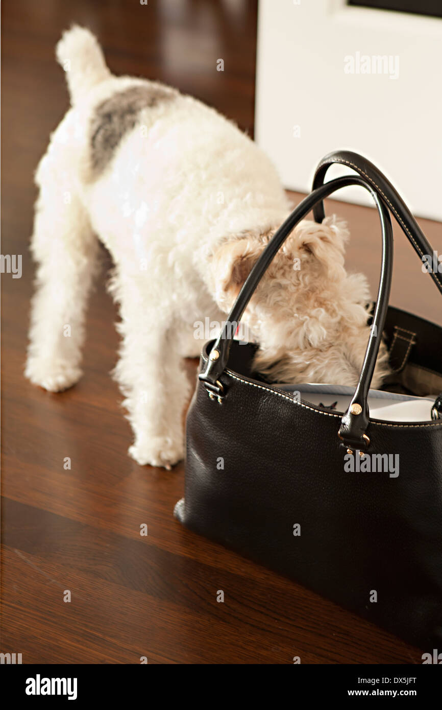 Curious schnauzer sniffing and looking inside of purse - Stock Image