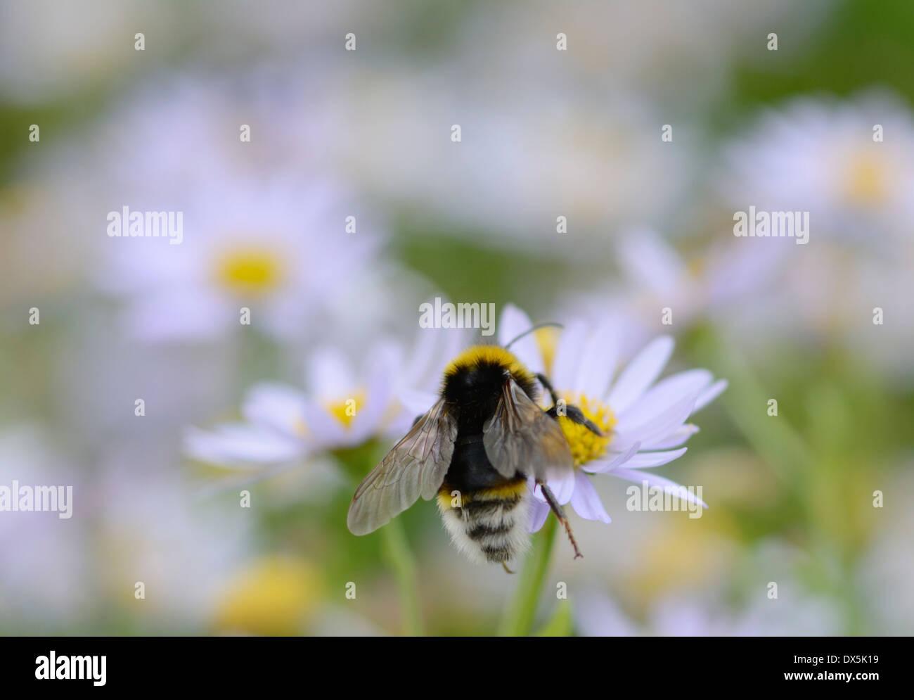 White tailed bumble bee bombus lucorum pollinating white daisy like white tailed bumble bee bombus lucorum pollinating white daisy like flowers july izmirmasajfo