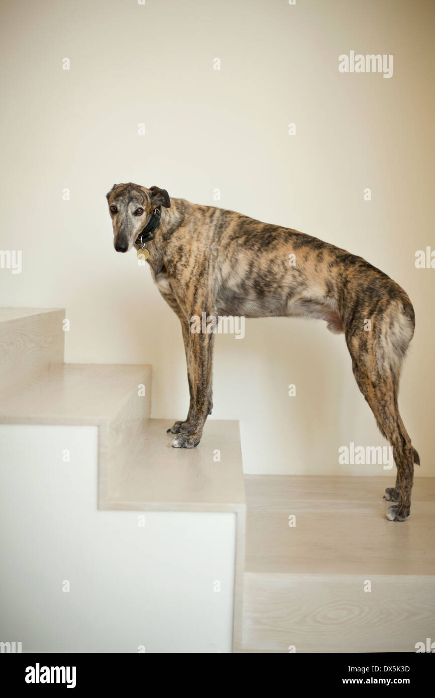 Greyhound Dog On Stairs, Portrait   Stock Image