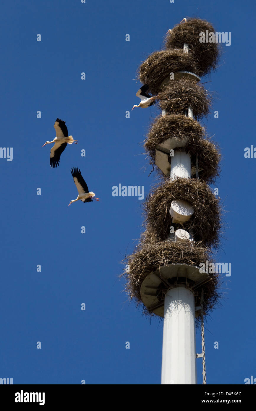 Tower of telecommunications with nests of white storks (Ciconia Ciconia). - Stock Image