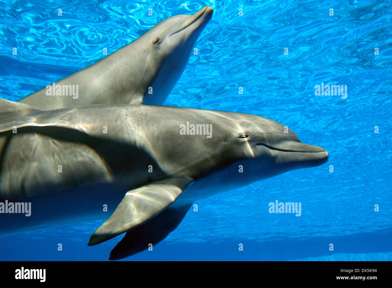 A couple of dolphins swimming. - Stock Image