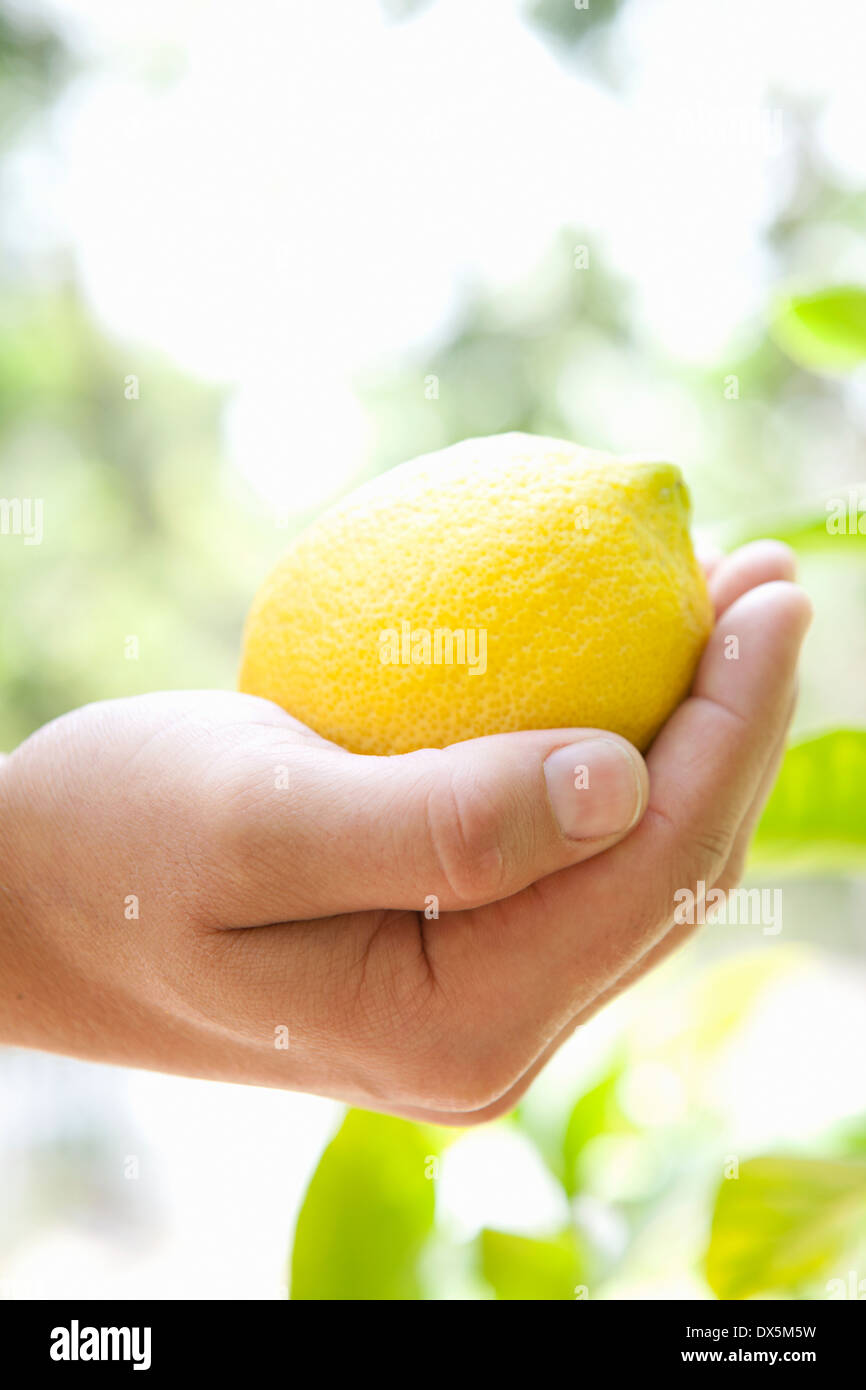 Man's hand cupping vibrant ripe yellow lemon - Stock Image