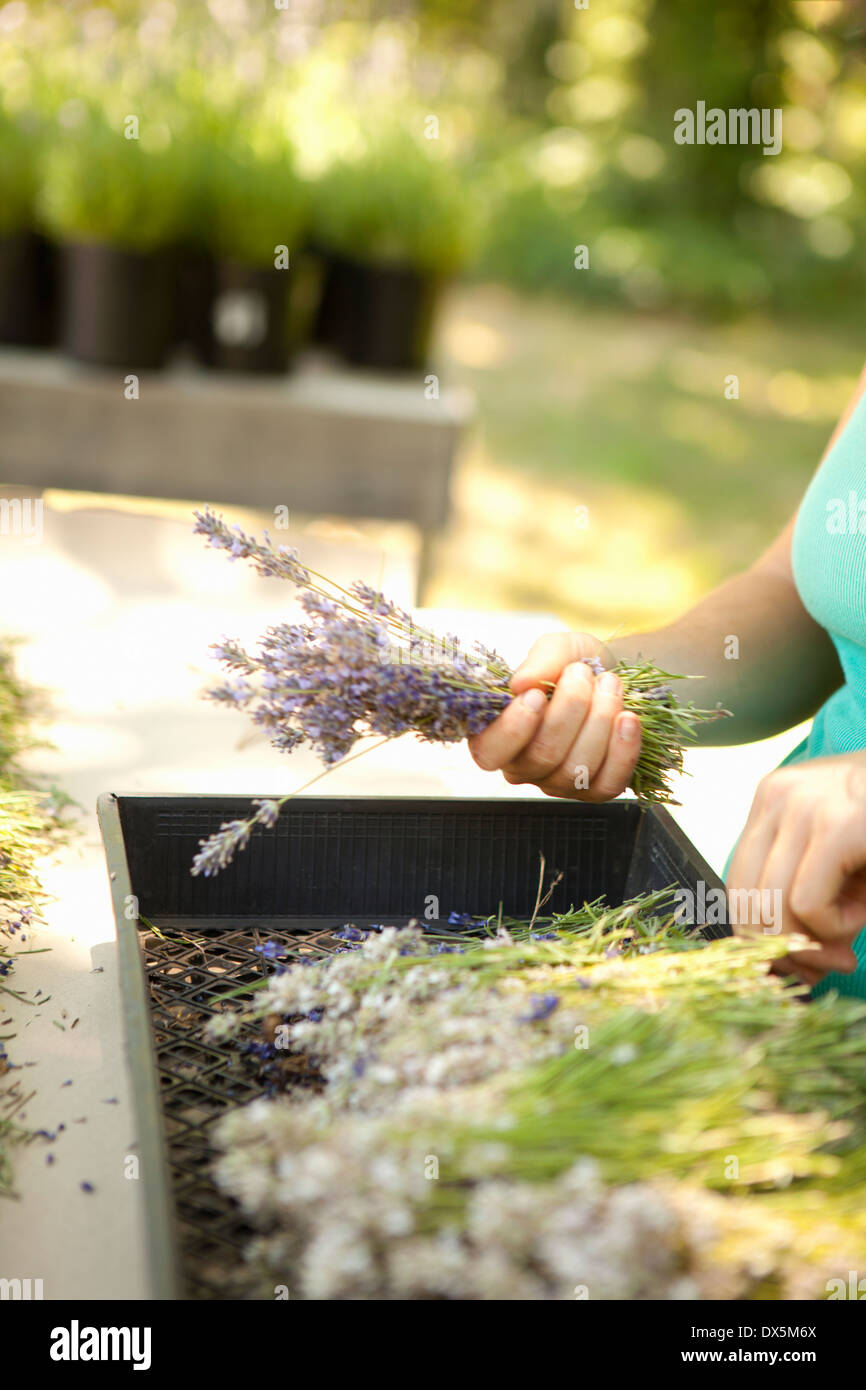 Woman sorting dried lavender on lavender farm, tilt - Stock Image