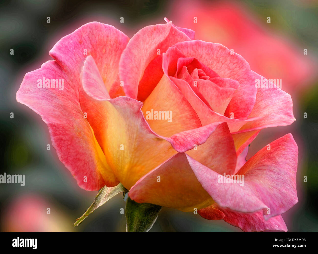 pastel-colored Rose - Stock Image
