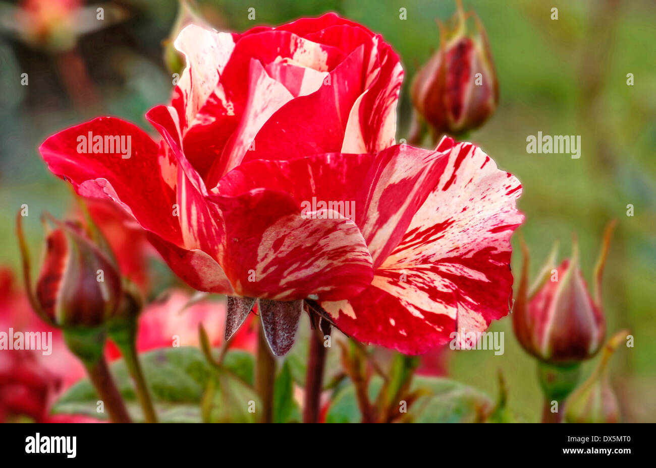 red-white roses - Stock Image