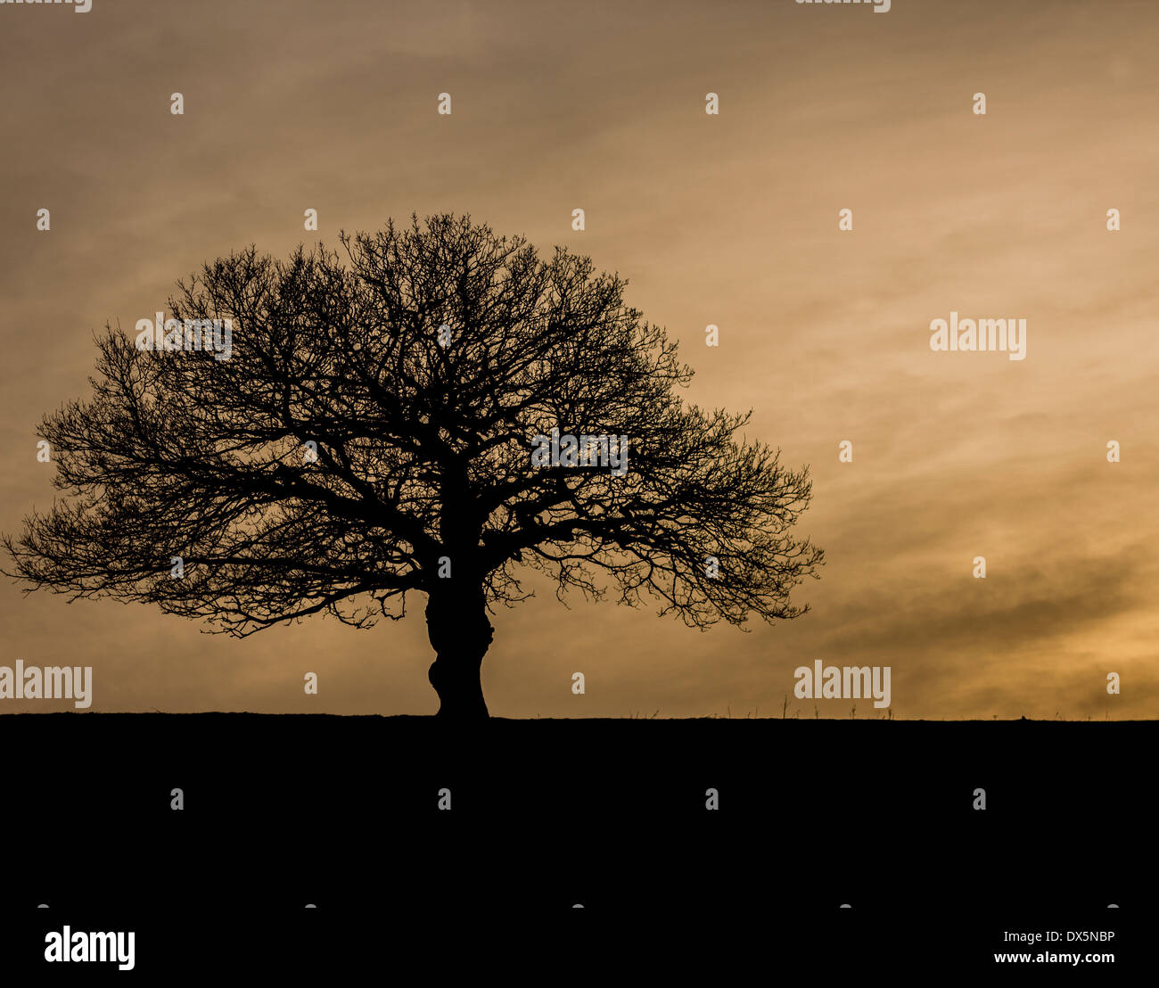 A silhouette of a bare oak tree at dusk on a hill in Yorkshire UK - Stock Image