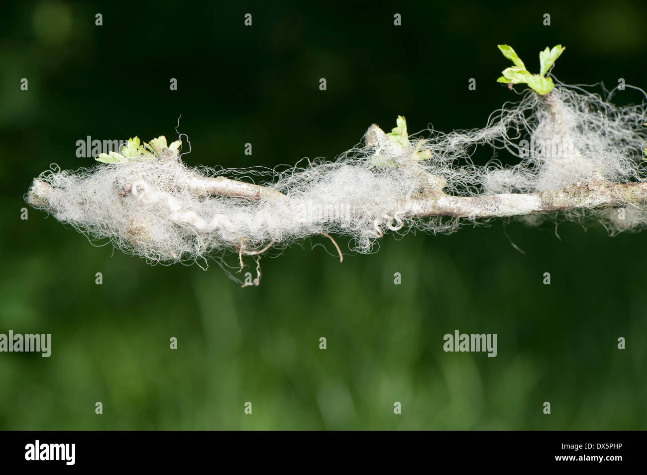 Sheeps wool caught on a thorn branch in a hedge. Cumbria, UK - Stock Image