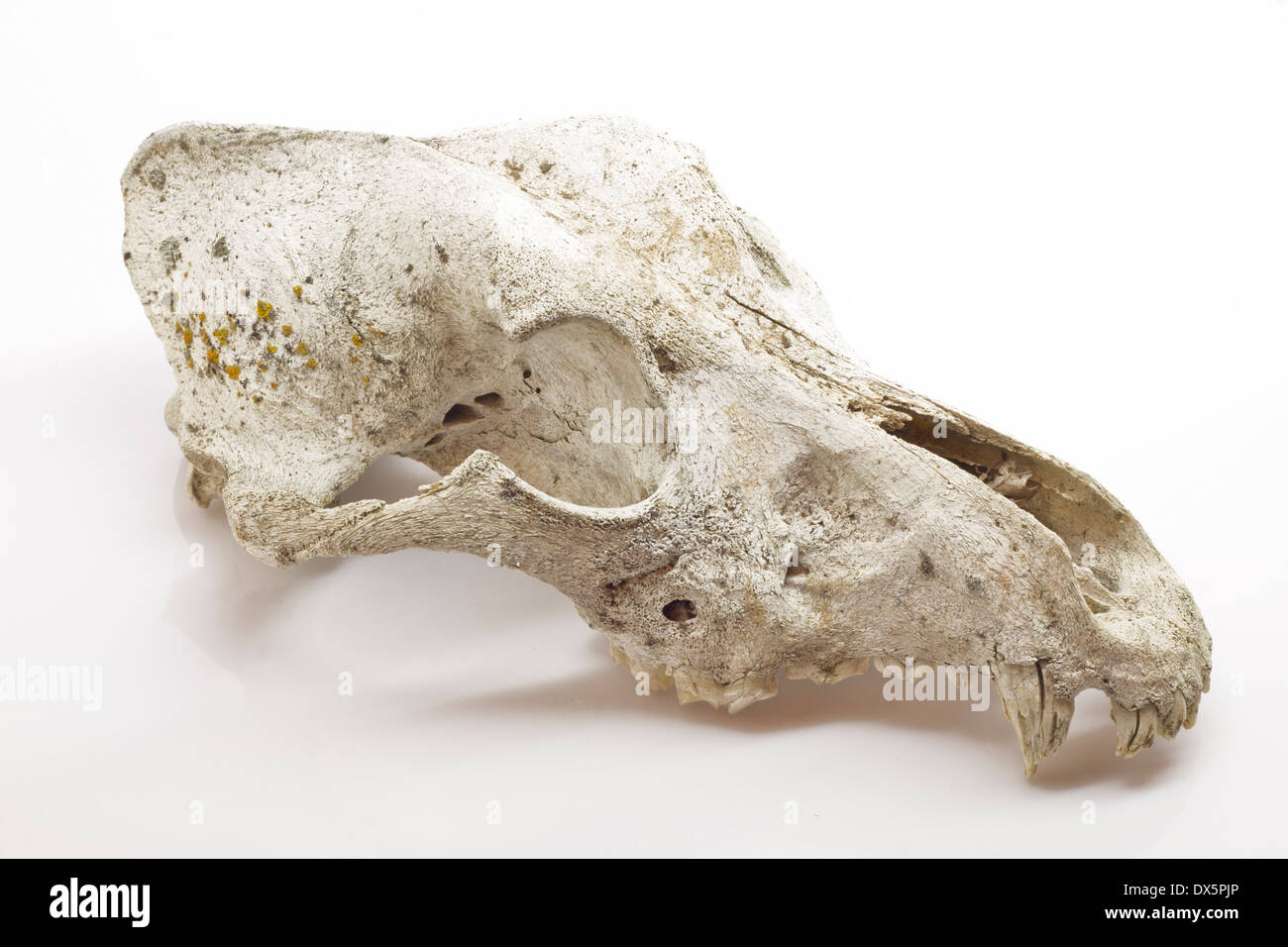 Dog Skull Anatomy Stock Photos & Dog Skull Anatomy Stock Images - Alamy