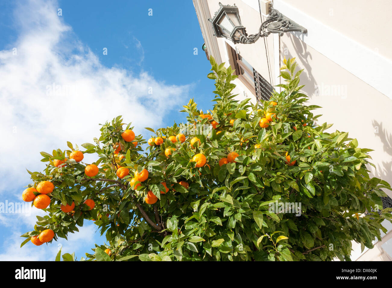Orange trees on the streets of La Ronda in Andalusia, Southern Spain. - Stock Image