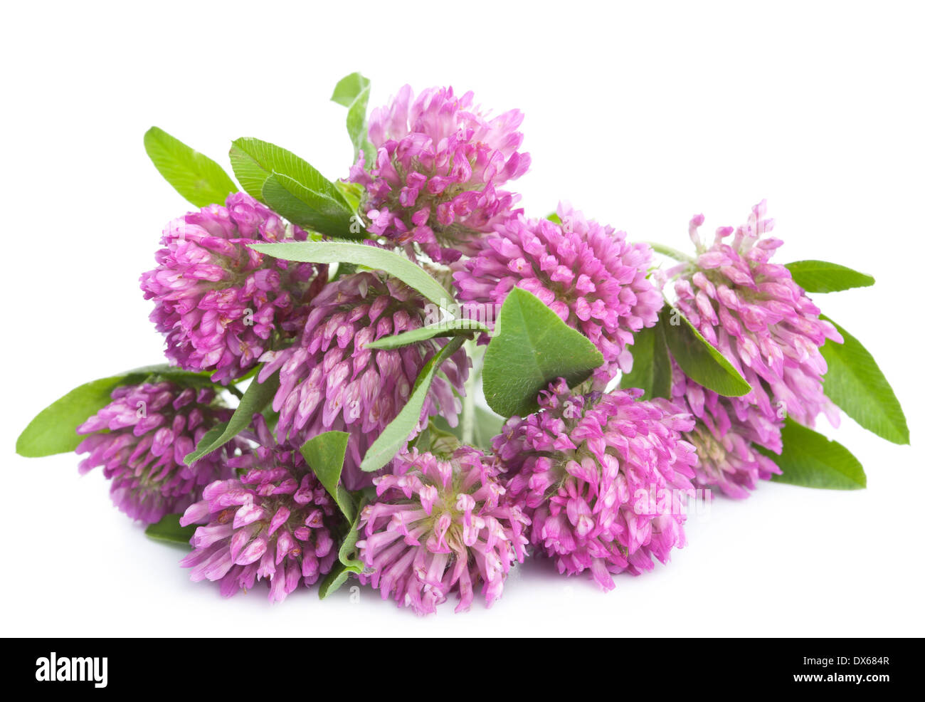 Pink Clover Flower Isolated Stock Photo 67750279 Alamy