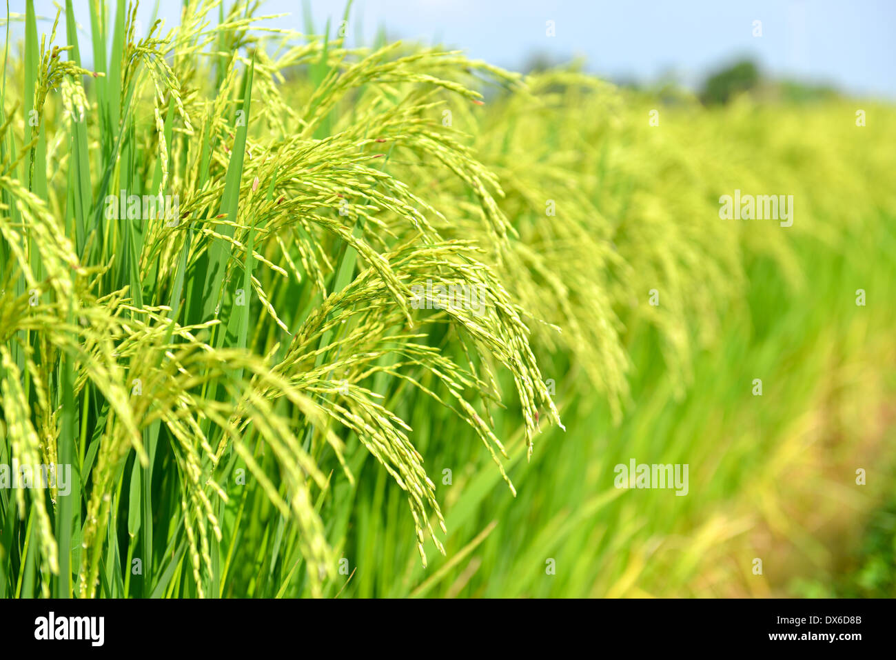 Rice paddy fields, Thailand - Stock Image