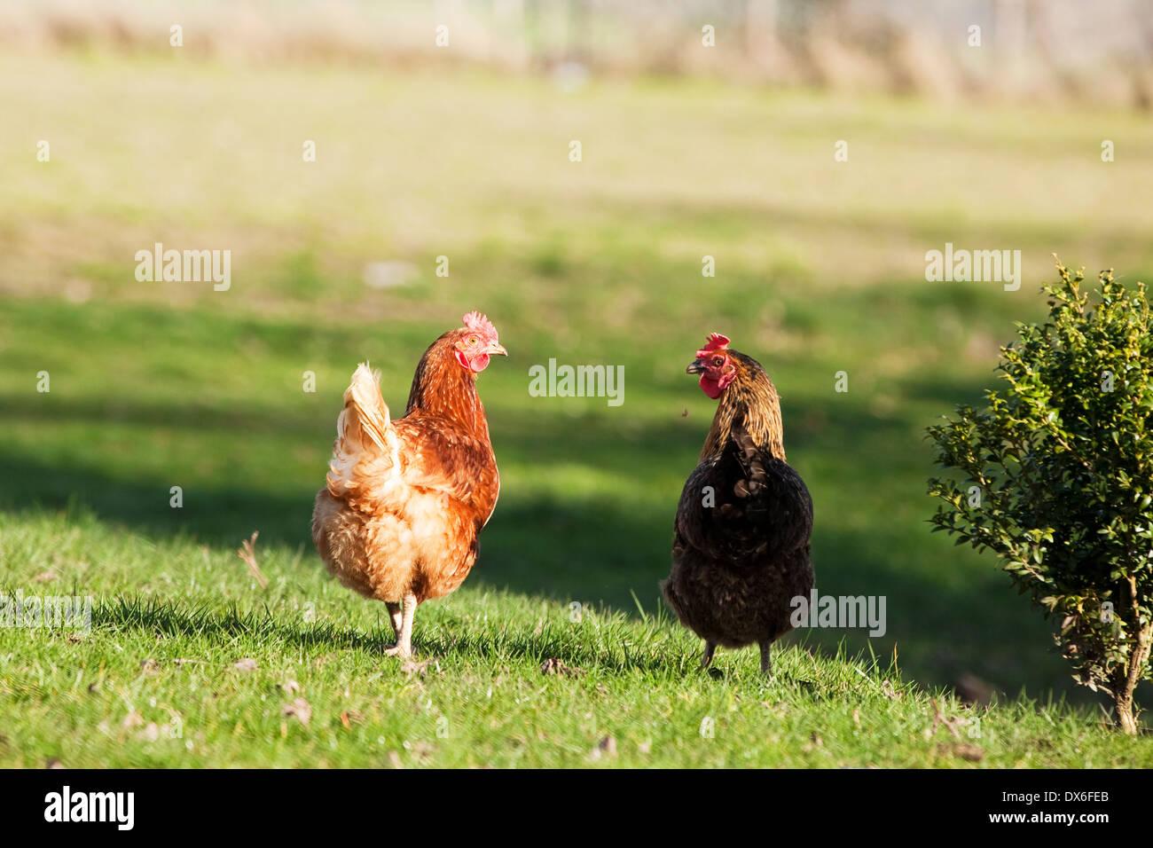 Free-range hens roaming free in English countryside - Stock Image