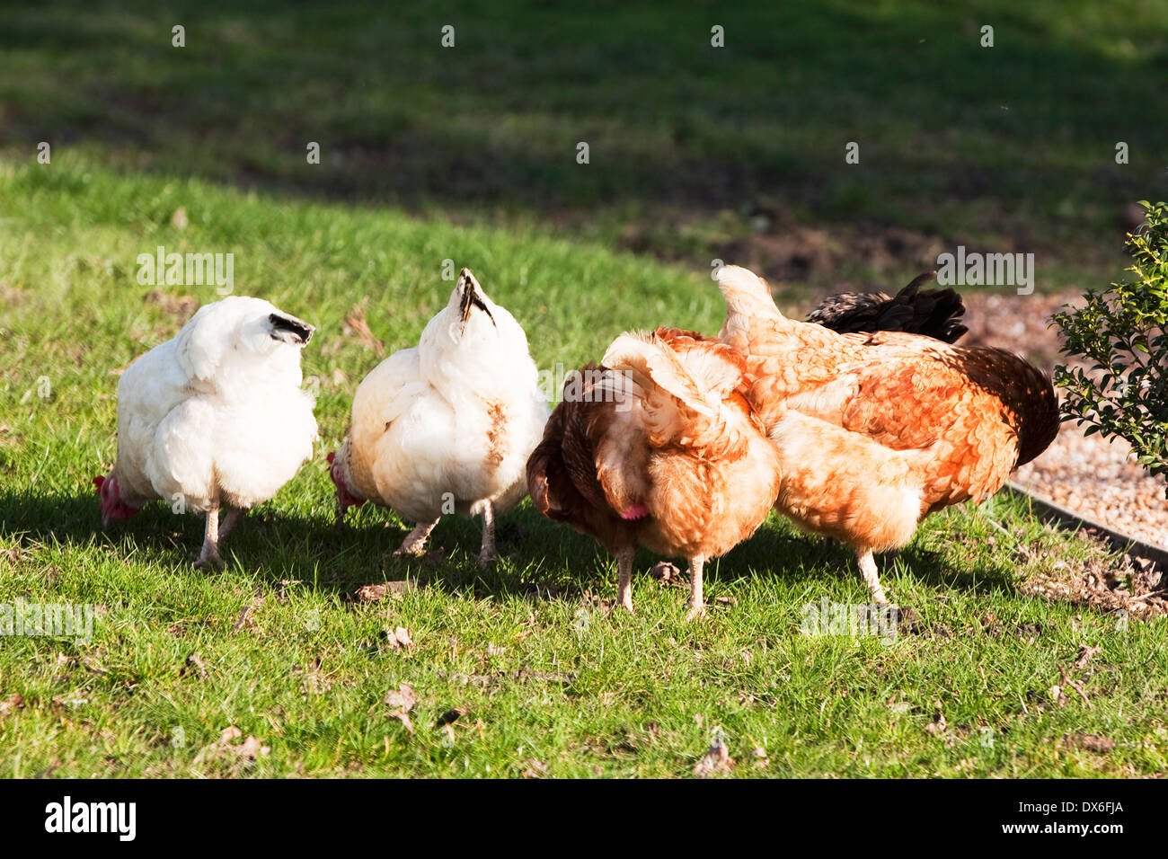 Free-range hens roaming free in English countryside, pecking in a row - Stock Image