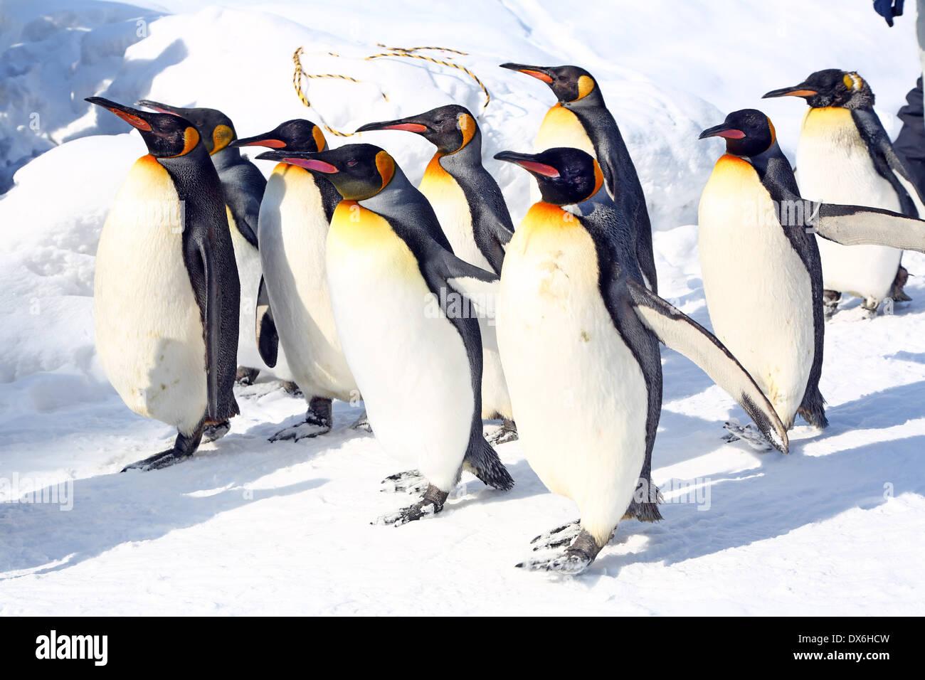 Penguin Walk at Asahiyama Zoo in Asahikawa, Japan - Stock Image